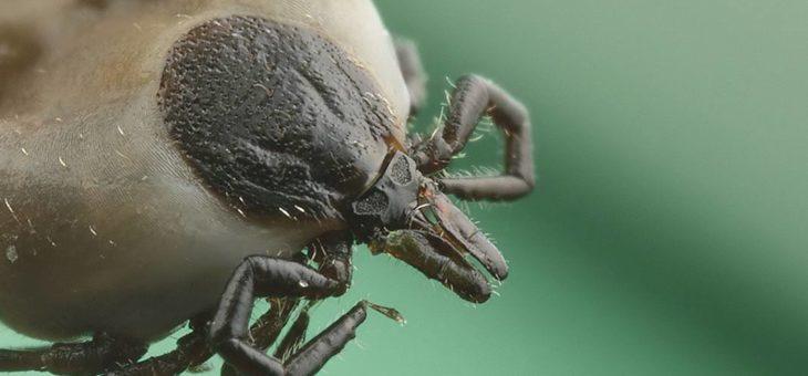 Kleszcz pospolity przenosi również choroby wirusowe